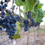 Meritage Resort - Napa Valley - Grapes for wine