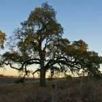 Meritage Resort - Napa Valley - Tree of life