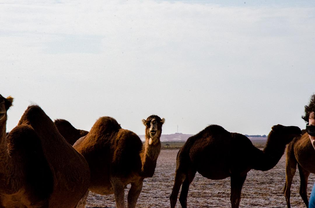 Iranian Camel